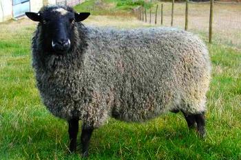 Приемущества разведения овечек романовской породы.