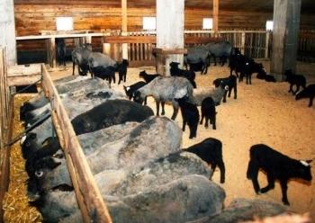 Ферма для разведения романовских овец.