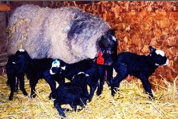 Рентабельность разведения романовской овечки.