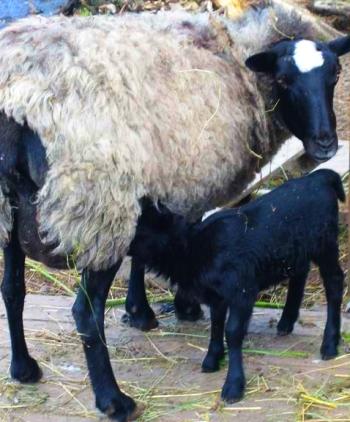 Романовская овца дает полезное молоко.
