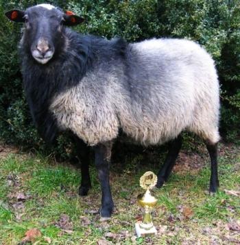 Стандарты породистой, романовской овцы.