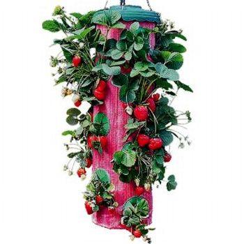 Выращивание клубники в теплице.