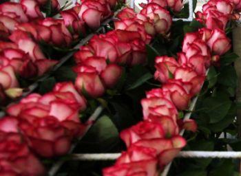 Уход за розами в теплице.