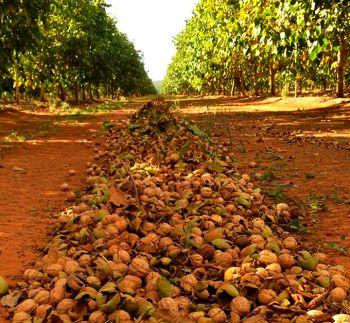 Плодовитые сорта грецкого ореха дают