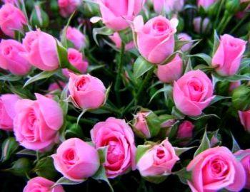 Быстрое выращивание роз.