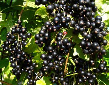 Как правильно выращивать черную смородину?