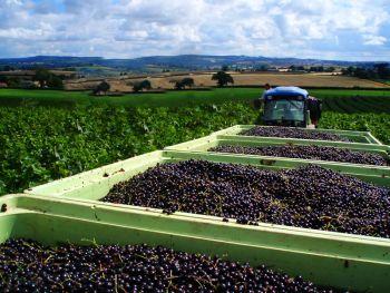 Хороший урожай ягод благодаря правильной технологии.