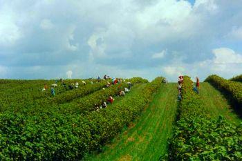 Уборка урожая на смородиновых полях.