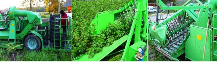 Комбайн JOVARAS USK - 1 убирает ягоды смородины на поле.