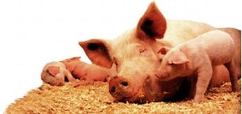 Состав комбикорма для свинеи и свиноматок.