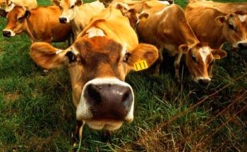 Состав комбикорма для коров и бугаев.