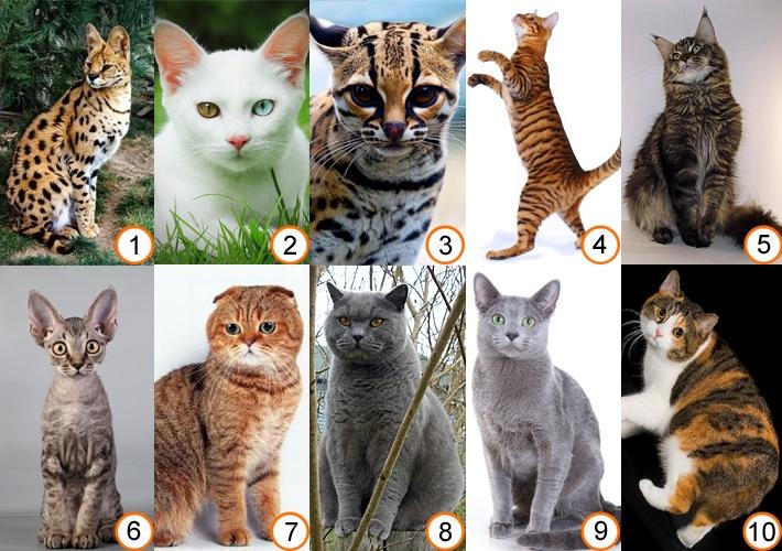 Все про котов породистых