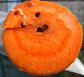 Морковная муха.