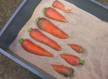 Длительное хранение моркови.