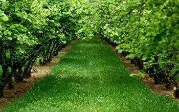 Ореховый сад фундука.