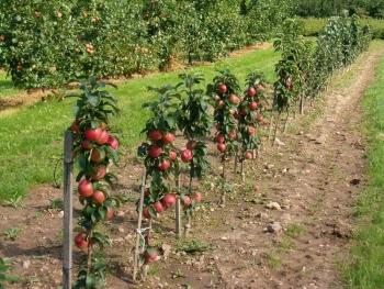посадить деревья яблони на 1га земли доход