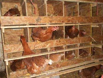 Можно ли употреблять мясо кур несушек с птицефабрики