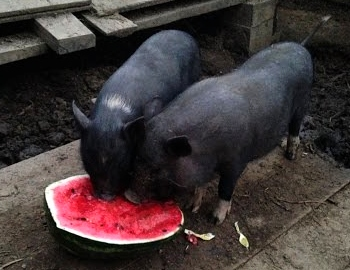 Содержание вьетнамских свиней в домашних условиях 60