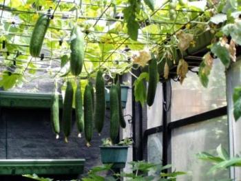 Все о выращивании огурцов.