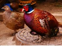 razvedenie-fazanov-dlya-biznesa