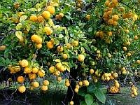 vyrashchivanie-limonov