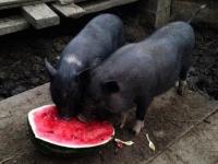 razvedenie-vislobryuhih-vetnamskih-svinei