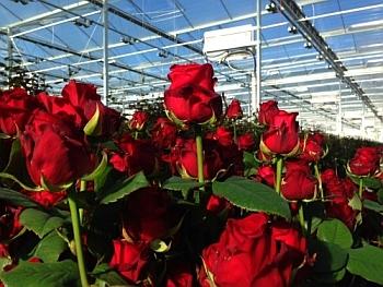 промышленное выращивание роз в теплицах