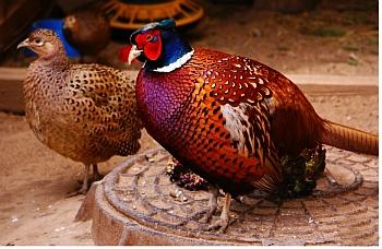 Самец и самка фазана.