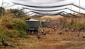 Фазанная ферма.