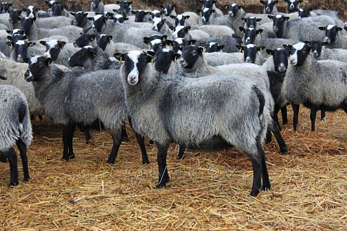 На овчину разводят овец романовской породы.