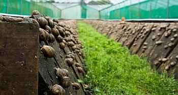 Как выращивать улиток в домашних?