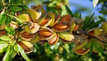 Урожай ореха.