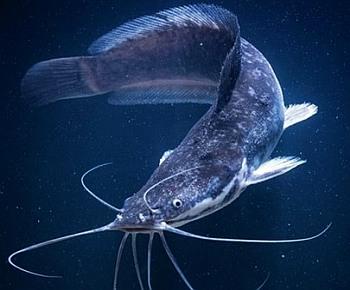 Как выращивать рыбу сом в домашних условиях?