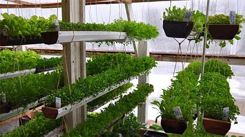 Выращивание тепличной зелени.