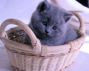 Милый британский котенок.