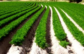 Бизнес на выращивании моркови 943