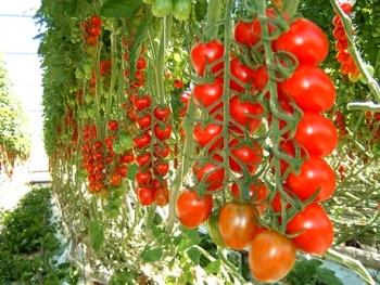 Урожай помидоров с теплицы.