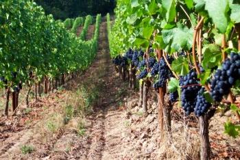Урожай на винограднике.
