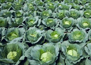 Выращивание капусты.