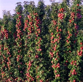 Урожайность колоновидных яблонь с одного дерева