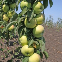 Яблока Президент.