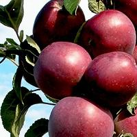 Яблока Арбат.