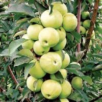 Яблока Медок.