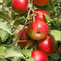 Яблока Баргузин.