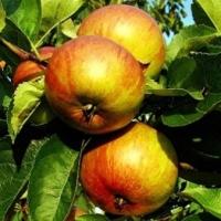 Яблока Икша.