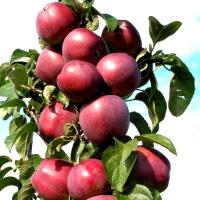 Яблока Легенда.