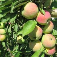 Яблока Макинтош.