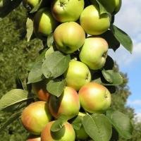 Яблока Янтарное ожерелье.