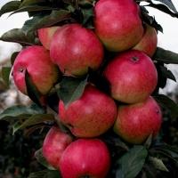 Яблока Васюган.