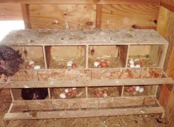 Яйца в куриных гнездах.
